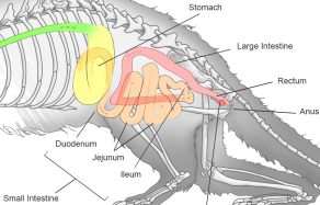 ferret-digestive-tract.png